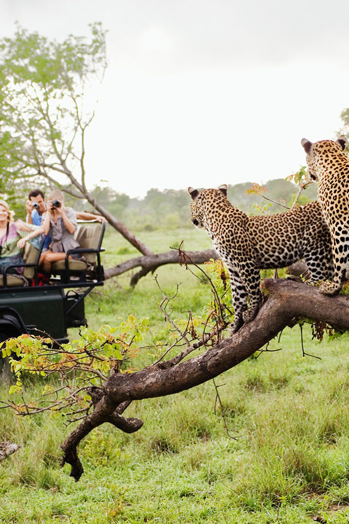 Family taking photos of leopards in safari on a vehicle